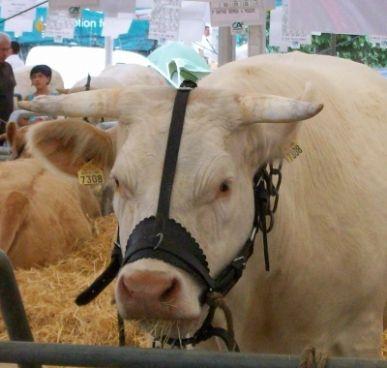 Licol Vache - cuir doublé - 3 règlages
