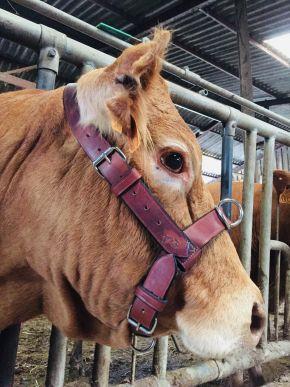 Licol vache/taureau en cuir réversible et cousu main garanti à vie