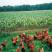 Filet poulets, orange 112/1 - 15/V - 50m