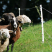 Piquet Mouton 0,75m blanc (10)